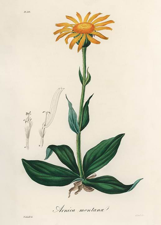 Planta de Árnica Montana